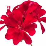 عکس عطر اورجینال با بوی گل شمعدانی