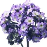 عکس عطر اورجینال با بوی هلیوتروپ