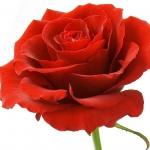 عکس عطر اورجینال با بوی گل سرخ