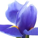 عطرهای دارای زنبق
