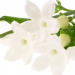 عکس عطر اورجینال با بوی استفانوتیس