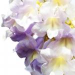 عطرهای دارای نت درخت شاهزاده (پلونیا) , عطرهایی با بوی درخت شاهزاده (پلونیا) , Perfumes with Princess Tree (Paulownia) Note