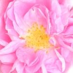 عطرهای دارای نت رز تیف , عطرهایی با بوی رز تیف , Perfumes with Taif Rose Note
