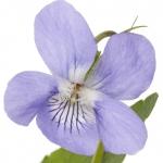 نمایش عطرهای دارای بنفشه - Violet