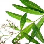 عطرهای دارای نت لیمو وربنا , عطرهایی با بوی لیمو وربنا , Perfumes with Lemon Verbena Note