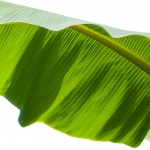نمایش عطرهای دارای برگ موز - Banana Leaf