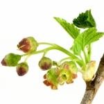 عطرهای دارای نت شکوفه توت سیاه , عطرهایی با بوی شکوفه توت سیاه , Perfumes with Black Currant Blossom Note