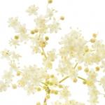 عطرهای دارای نت نوعی گل وحشی , عطرهایی با بوی نوعی گل وحشی , Perfumes with Black Elder Note