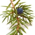 عکس عطر اورجینال با بوی درخت عرعر