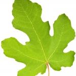 عکس عطر اورجینال با بوی برگ درخت انجیر