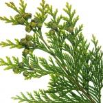 نمایش عطرهای دارای سرو - Cypress