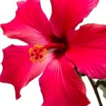 عطرهای دارای نت هیبیسوس , عطرهایی با بوی هیبیسوس , Perfumes with Hibiscus Note