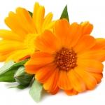 عطرهای دارای نت گلبرگ انگلیسی , عطرهایی با بوی گلبرگ انگلیسی , Perfumes with English marigold Note