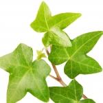 عطرهای دارای نت گیاه پیپیتال , عطرهایی با بوی گیاه پیپیتال , Perfumes with Ivy Note
