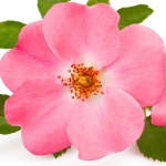 عکس عطر اورجینال با بوی میوه گل رز