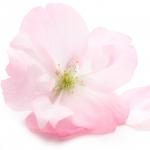 عطرهای دارای نت شکوفه آلبالو , عطرهایی با بوی شکوفه آلبالو , Perfumes with Sour Cherry Blossom Note