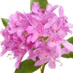 عطرهای دارای نت رودودندرون , عطرهایی با بوی رودودندرون , Perfumes with Rhododendron Note