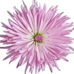 عطرهای دارای نت گل داودی , عطرهایی با بوی گل داودی , Perfumes with Chrysanthemum Note