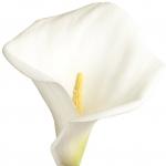 عطرهای دارای نت آروم لیلی , عطرهایی با بوی آروم لیلی , Perfumes with Arum Lily Note