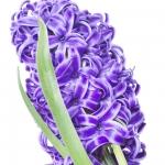عطرهای دارای نت سنبلچه , عطرهایی با بوی سنبلچه , Perfumes with Hyacinth Note