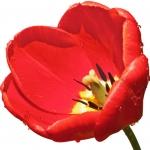 نمایش عطرهای دارای لاله - Tulip