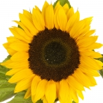 عطرهای دارای نت آفتابگردان , عطرهایی با بوی آفتابگردان , Perfumes with Sunflower Note