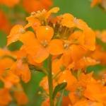 نمایش عطرهای دارای نوعی گل - Wallflower