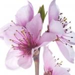 عکس عطر اورجینال با بوی شکوفه هلو