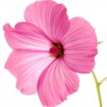 عطرهای دارای نت گل سرخ , عطرهایی با بوی گل سرخ , Perfumes with Rose Mallow Note