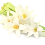 عطرهای دارای گل مریم