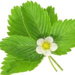 عطرهای دارای نت برگ توت فرنگی , عطرهایی با بوی برگ توت فرنگی , Perfumes with Strawberry Leaf Note