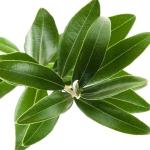 عطرهای دارای نت برگ زیتون , عطرهایی با بوی برگ زیتون , Perfumes with Olive Leaf Note