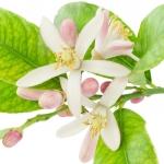 عکس عطر اورجینال با بوی شکوفه لیمو