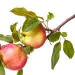 عطرهای دارای نت درخت سیب , عطرهایی با بوی درخت سیب , Perfumes with Apple Tree Note
