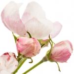عطرهای دارای نت شکوفه سیب , عطرهایی با بوی شکوفه سیب , Perfumes with Apple Blossom Note