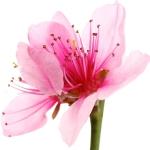 عطرهای دارای نت شکوفه گیلاس , عطرهایی با بوی شکوفه گیلاس , Perfumes with Cherry Blossom Note