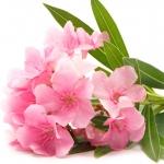 نمایش عطرهای دارای گل خرزهره - Nerium Oleander