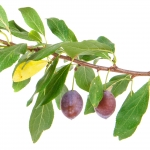 نمایش عطرهای دارای درخت آلو - Plum Tree