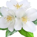 عکس عطر اورجینال با بوی گل های سفید