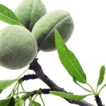 عطرهای دارای نت درخت بادام , عطرهایی با بوی درخت بادام , Perfumes with Almond tree Note