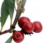 عطرهای دارای نت نوعب آلو , عطرهایی با بوی نوعب آلو , Perfumes with Bearberry Note