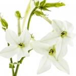 عطرهای دارای نت شکوفه تنباکو , عطرهایی با بوی شکوفه تنباکو , Perfumes with Tobacco blossom Note