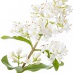 عطرهای دارای نت گل شمشاد , عطرهایی با بوی گل شمشاد , Perfumes with Privet Note