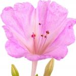 عطرهای دارای نت گل میرابیلیس , عطرهایی با بوی گل میرابیلیس , Perfumes with Mirabilis Note