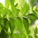 نمایش عطرهای دارای برگ نوعی درخت بنام نیم - Neem
