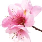 عطرهای دارای نت شکوفه زردآلو , عطرهایی با بوی شکوفه زردآلو , Perfumes with Apricot Blossom Note