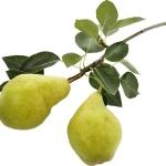 عطرهای دارای نت درخت گلابی , عطرهایی با بوی درخت گلابی , Perfumes with Pear Tree Note