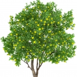 عطرهای دارای نت درخت لیمو , عطرهایی با بوی درخت لیمو , Perfumes with Lemon tree Note