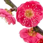 عطرهای دارای نت شکوفه پلام , عطرهایی با بوی شکوفه پلام , Perfumes with Plum blossom Note