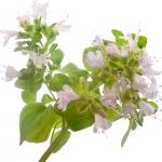 عطرهای دارای نت پونه کوهی , عطرهایی با بوی پونه کوهی , Perfumes with Oregano Note